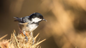 Coal Tit on Thistle Royalty Free Stock Images
