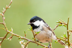 Coal Tit on Thorny Branch Stock Photo