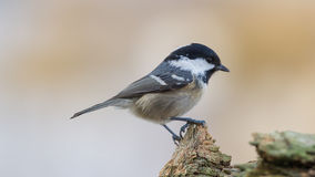 Coal Tit on Top Stock Image