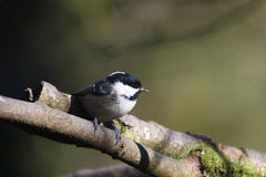 Coal Tit on tree branch. Closeup of a Coal Tit bird perched on a small tree branch.  Species:  Periparus ater Stock Photos