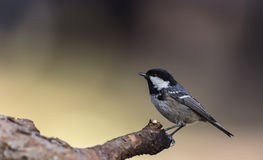 Coal Tit on A Tree Branch (Parus ater) Royalty Free Stock Photo