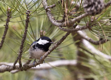 Coal Tit on a Tree (Parus ater) Royalty Free Stock Photo