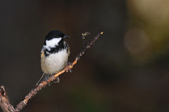 Coal Tit on a twig Stock Images