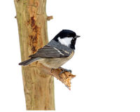 The coal tit on a twig. A coal tit sitting on a twig a winterday with a snowy background, Uppland, Sweden stock photo