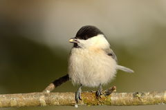 Coal tit on twig Royalty Free Stock Images