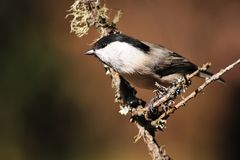 Coal Tit on a twig, side view Royalty Free Stock Image