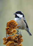 Coal tit Royalty Free Stock Images