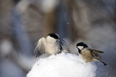 Coal Tit and Willow Tit conflict in snow Royalty Free Stock Photos
