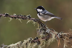 Coal tit in winter. Coal tit perched on a branch in a forest of larch trees Stock Image