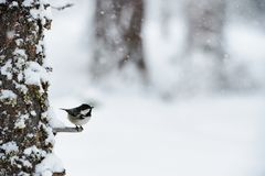 Coal tit in winter while it snows. Beautiful coal tit photographed in winter while it snows Royalty Free Stock Photos
