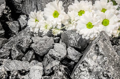 Coal white daisies flower chamomile Stock Images