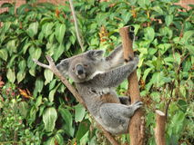 coala Arkivbilder