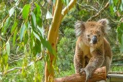 Coala australiana em um ramo Fotografia de Stock
