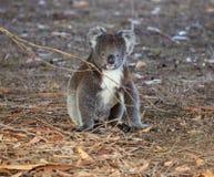 Coala australiana pequena bonito do retrato que senta-se na terra em uma floresta do eucalipto e que olha com curiosidade canguru fotografia de stock royalty free