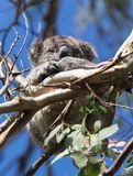 Coala australiana pequena bonito que dorme entre ramos de uma árvore de eucalipto Ilha do canguru imagem de stock royalty free