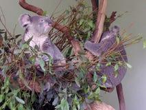 Coala-Bären Stockfoto