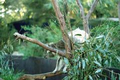 Koala behind the eucalyptus tree Stock Photos