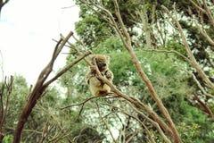 Coala björn som sitter på ett träd arkivfoton