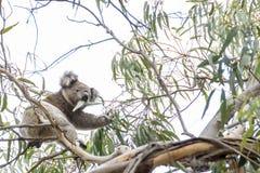 A coala bonita na vida selvagem come as folhas do eucalipto que aderem-se a um ramo, ilha do canguru, Austrália do sul foto de stock royalty free