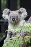 Coala (cinereus do Phascolarctos) fotografia de stock royalty free