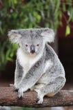 Coala (cinereus do Phascolarctos) Imagem de Stock