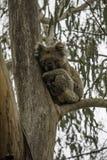 Coala, das auf einer Niederlassung des Eukalyptus seine Lieblingsnahrung schläft, sind Eukalyptusblätter lizenzfreie stockfotos