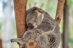 Coala de sono Imagens de Stock