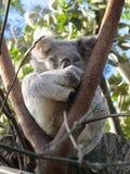 Coala do sono na árvore Foto de Stock