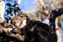 Coala do sono - parque nacional de Yanchep - Austrália fotos de stock royalty free