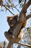 Coala em Austrália Fotografia de Stock