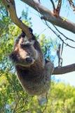 Coala na suspensão selvagem de um ramo nas árvores de eucalipto na península de Otway do cabo em Victoria Australia Fotos de Stock Royalty Free