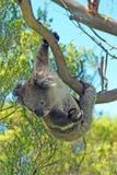 Coala na suspensão selvagem de um ramo nas árvores de eucalipto na península de Otway do cabo em Victoria Australia Fotografia de Stock