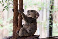 Coala no jardim zoológico da floresta fotografia de stock