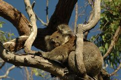 Coala no parque nacional Austrália de Yanchep fotos de stock royalty free
