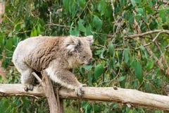 Coala no polo de madeira no centro da conservação da coala em Cowes, Phillip Island, Victoria, Austrália fotografia de stock