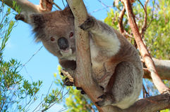 Coala no selvagem nas árvores de eucalipto no cabo Otway em Victoria Australia Imagem de Stock