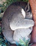 Coala ondulada acima do sono em uma árvore fotos de stock royalty free