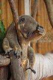 Coala que dorme no jardim zoológico imagem de stock royalty free