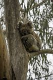 Coala que duerme en una rama del eucalipto su comida preferida es hojas del eucalipto fotos de archivo libres de regalías
