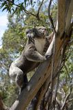 Coala que escala uma árvore de eucalipto fotos de stock
