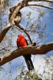 Coala & rei Parrot em Austrália Fotos de Stock Royalty Free
