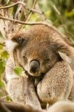 Coala selvagem que dorme sobre uma árvore Fotografia de Stock Royalty Free