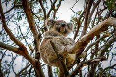 Coala sitter i trädet fotografering för bildbyråer