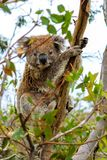 Coala sitzt im Baum stockbilder