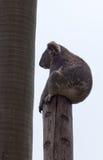 A coala surpreendente está dormindo na árvore Fotografia de Stock