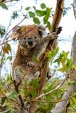 Coala zit in de boom stock afbeeldingen