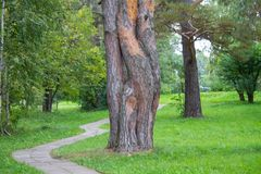 Coalesced pine tree trunks in green park, picturesque landscape Royalty Free Stock Photography