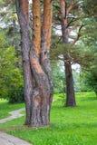 Coalesced sörjer trädstammar i gräsplan parkerar, det pittoreska landskapet Royaltyfri Bild