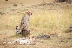 Coalición de los guepardos que miran el ñu durante la migración imágenes de archivo libres de regalías