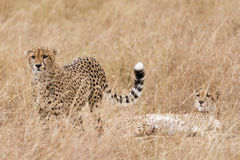 Coalition of cheetah Royalty Free Stock Photography
